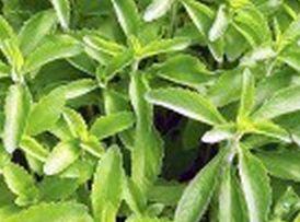 Stevia anbauen